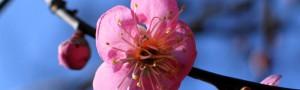 Pflaumenblueten Sushirolle